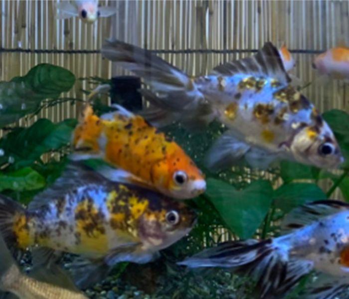 金魚は大きく成長して口に入れば小魚も食べてしまうのでメダカとは混泳できない