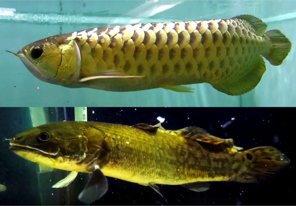 大型水槽での古代魚の飼育は迫力満点