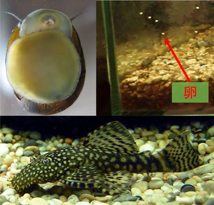ガラス水槽は傷がつきにくくプレコの飼育もOKでスクレーパーを用いた貝の卵の除去も問題なし