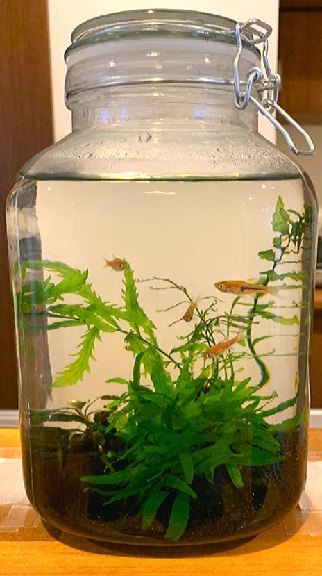 瓶を使ったボトルアクアリウムでメダカや小型熱帯魚の飼育