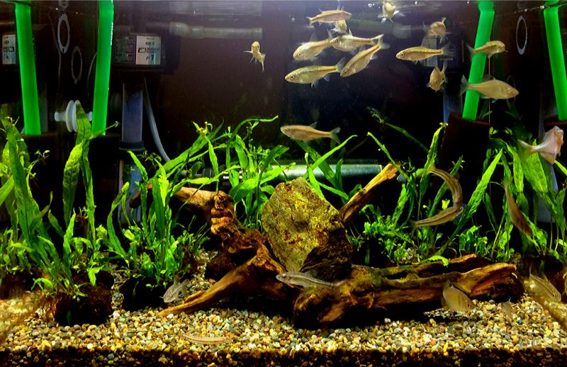 45cmワイド水槽でタナゴやモロコ、ドジョウなどの日淡を飼育