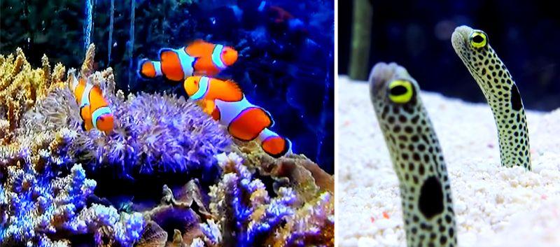 カクレクマノミやチンアナゴなどで有名な海水魚を飼育してみよう
