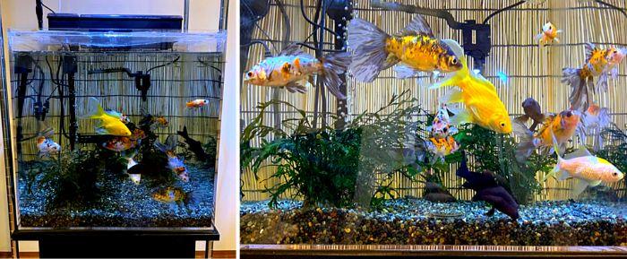 45cmキューブ水槽で金魚を飼育