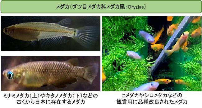 メダカとはダツ目メダカ科メダカ属(学名:Oryzias)に分類される淡水魚の総称である