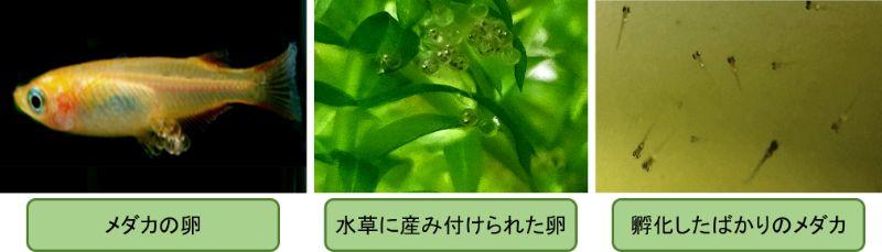 メダカの成長(メダカの産卵と孵化したばかりのメダカ)