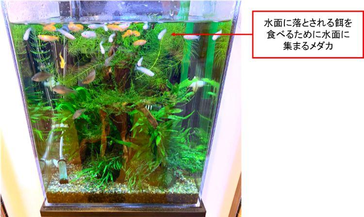 メダカは水槽の中~上層付近を泳ぐことが多い