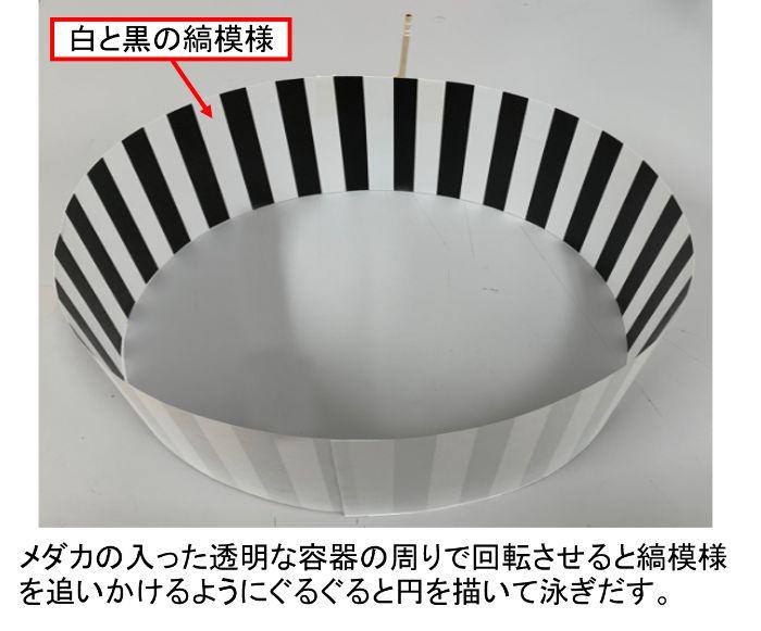 メダカの入った透明な容器の周りで縞模様を回転させるとぐるぐると円を描いて泳ぎだす