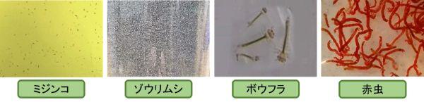 メダカは自然界ではミジンコやゾウリムシなどのプランクトン、ボウフラや赤虫などの小さな虫を食べている