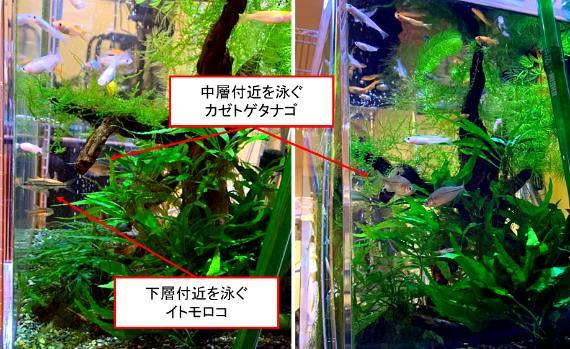 メダカは上層付近を泳ぐので、中層や下層を泳ぐ他の魚との混泳に適している