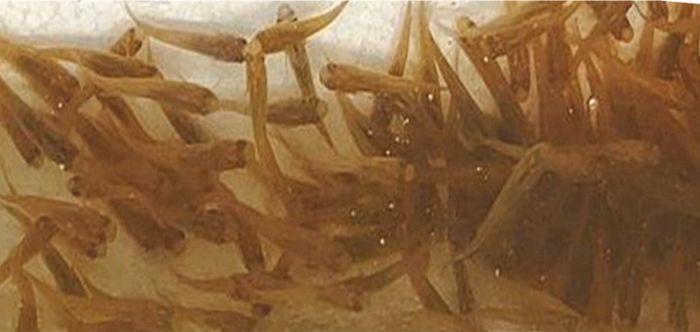 ヒメダカは肉食魚の餌用として販売されることもあり雑に扱われて状態が悪い場合も多い