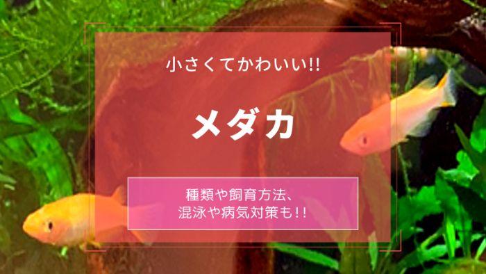 メダカ【メニュー】