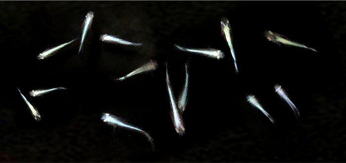 幹之メダカは背中が青白く輝く美しいメダカであり上から見るビオトープやメダカ鉢におすすめ