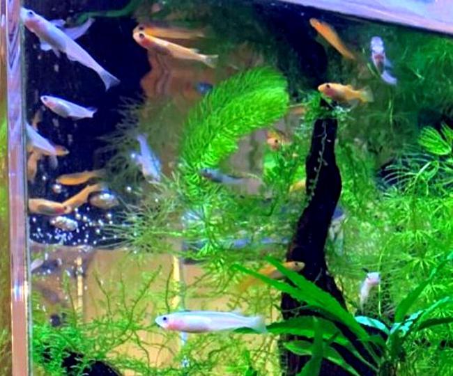 白メダカは他の体色のメダカや他の種類の魚と混泳させても水槽内のアクセントとしておすすめできる種類のメダカ