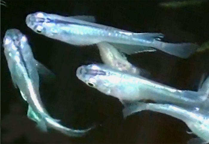 青メダカは横から見ると灰色やシルバーに見えるが光に照らされた状態で上から見ると青白く見えてきれい