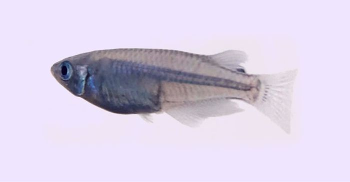 青メダカは青色の色素を持たないが光に照らされると青く見えてきれいなメダカ