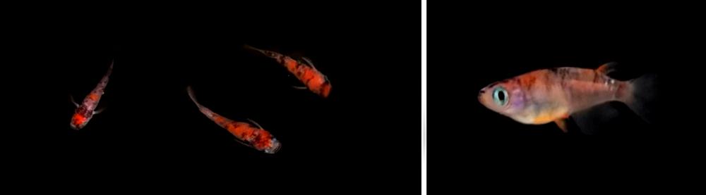 あけぼの3色メダカは赤白黒の三色で体色が構成される錦鯉のような姿をした美しいメダカ