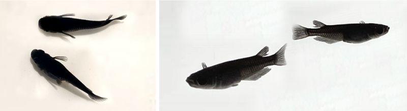 オロチメダカは全身真っ黒で色抜けしにくく美しくかっこいいメダカ
