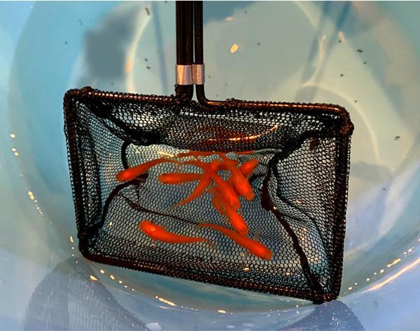 メダカ飼育の際には特に水槽導入時に網があると便利