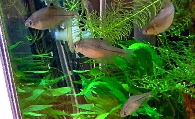 メダカとカゼトゲタナゴは混泳に向いている