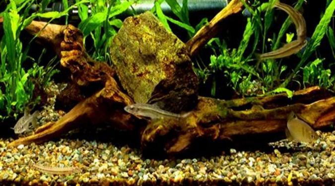 日本産淡水魚(日淡)とは_メダカとの混泳を考える