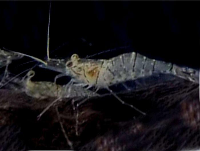 スジエビは肉食性が強く小魚を襲って食べるのでメダカとは混泳できない