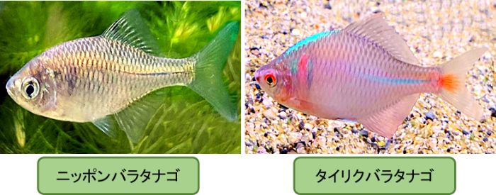 ニッポンバラタナゴとタイリクバラタナゴはメダカと混泳できるが気性が荒い個体もいるので注意が必要