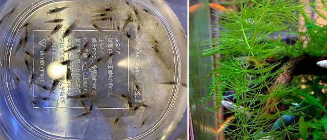 ミナミヌマエビは水槽内の苔を食べてくれてメダカとの混泳にも適している