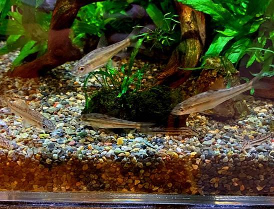 イトモロコは温和で底付近にいることが多くメダカと混泳可能