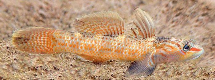 ヨシノボリは小魚を捕食するのでメダカとは混泳できない