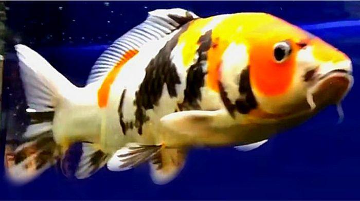 鯉(コイ)は大きく成長して口に入れば小魚も食べてしまうのでメダカとは混泳できない